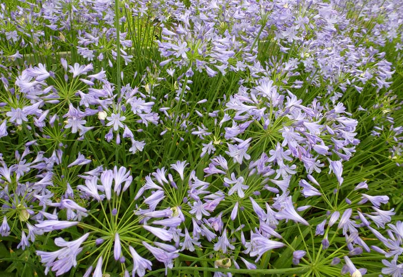 AGAPANTHUS HYBRIDE 'DR BROUWER'