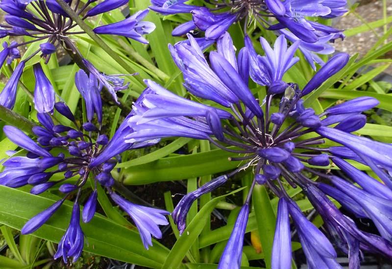 AGAPANTHUS HYBRIDE 'NAVY BLUE'