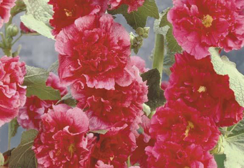 ALCEA ROSEA 'CHATER'S DOUBLE HYBRIDS' – ROOD