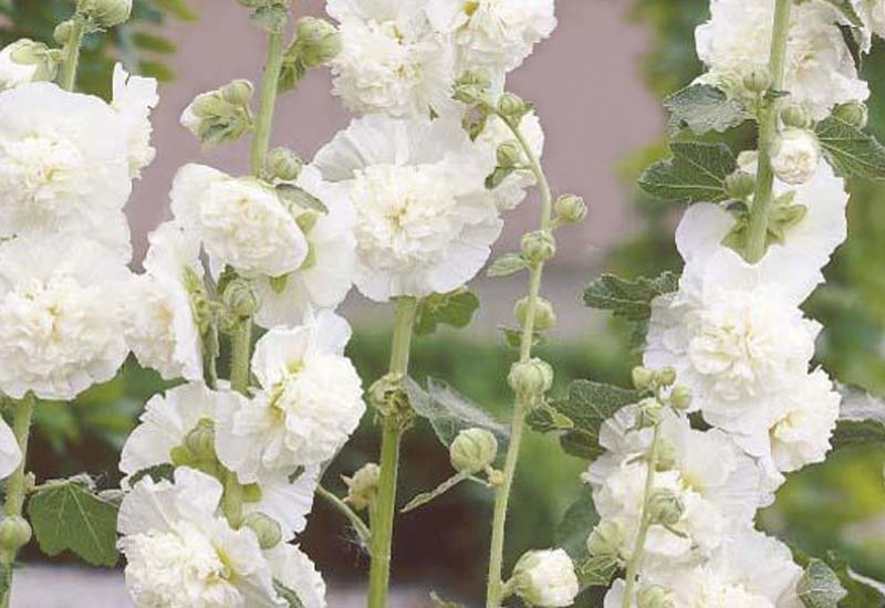 ALCEA ROSEA 'CHATER'S DOUBLE HYBRIDS' – WIT
