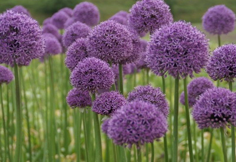 ALLIUM HYBRIDE 'GLADIATOR' P 12