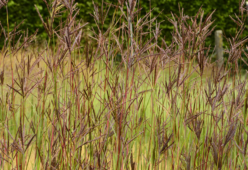 ANDROPOGON HALLII  'PURPLE KONZA'