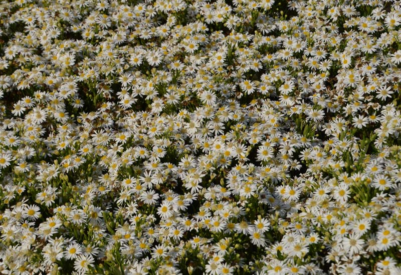 ASTER AGERATOIDES 'STARSHINE'