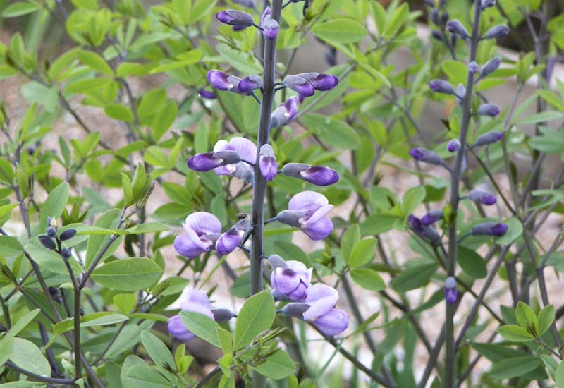 BAPTISIA HYBRIDE 'PURPLE SMOKE'