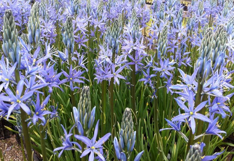 CAMASSIA LEICHTLINII 'BLUE CANDLE' P 12