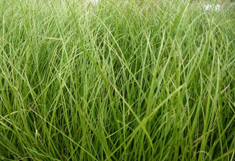 CAREX HOWARDII 'PHOENIX GREEN'