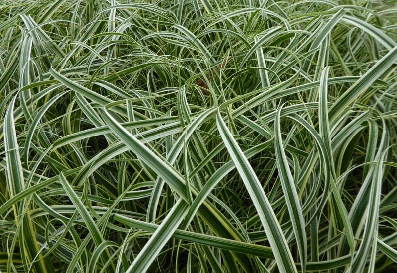 CAREX HYBRIDE 'FEATHER FALLS'