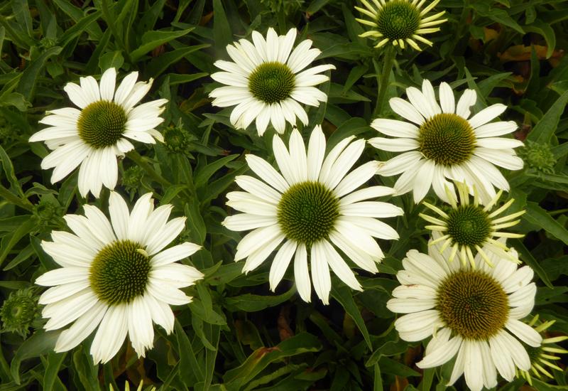 ECHINACEA PURPUREA 'SUNSEEKERS WHITE'