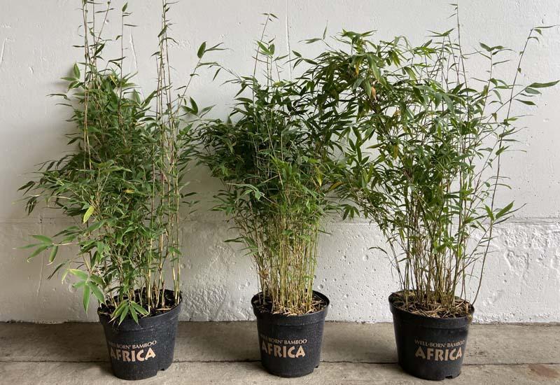 FARGESIA HYBRIDE 'MAASAI' CO 7,5 L 125-150 CM