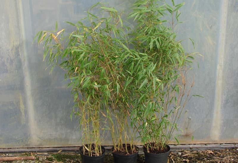 FARGESIA RUFA CO 3 L 60-80 CM