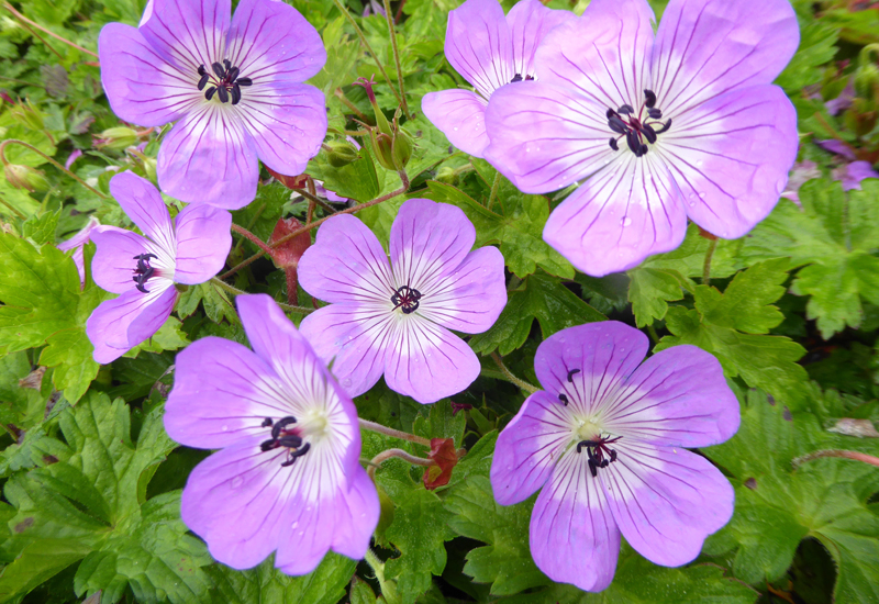 GERANIUM HYBRIDE 'BLOOM TIME' (BOO)