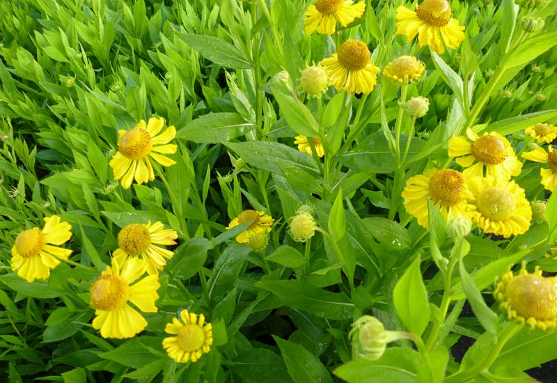 HELENIUM HYBRIDE 'GOLD DOUBLOONS'