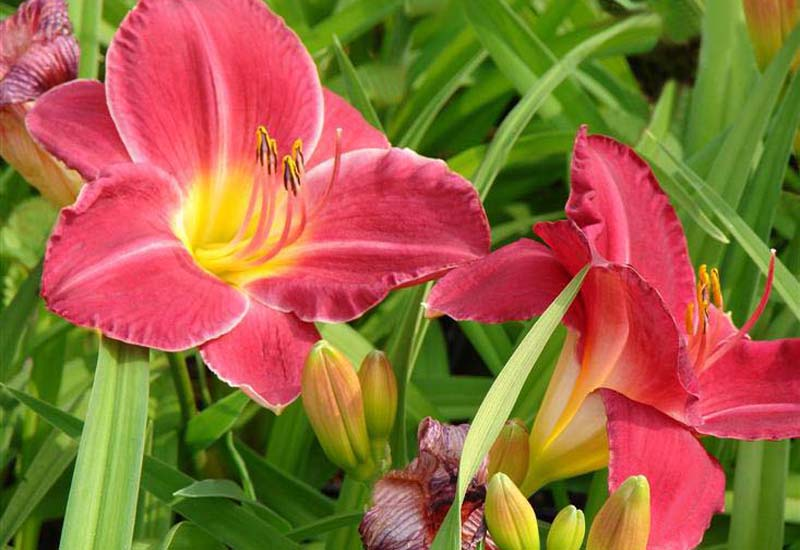 HEMEROCALLIS HYBRIDE 'CHARLES JOHNSTON'
