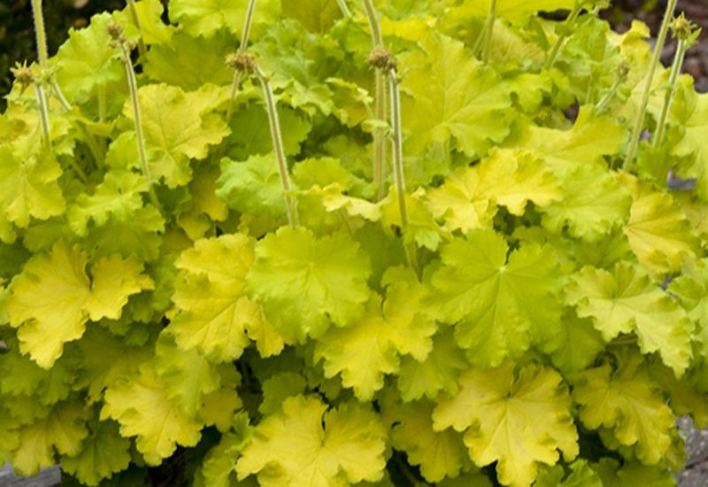 HEUCHERA HYBRIDE 'LEMON LOVE'