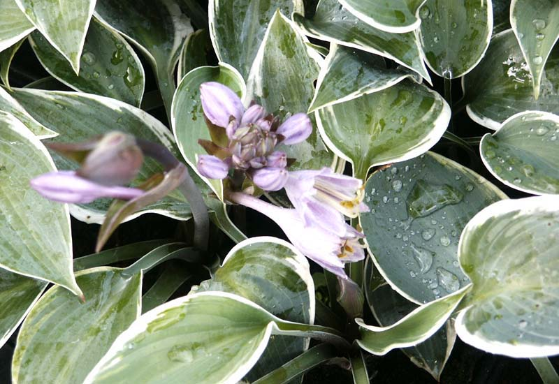 HOSTA HYBRIDE 'EL NINO' CO 3 L