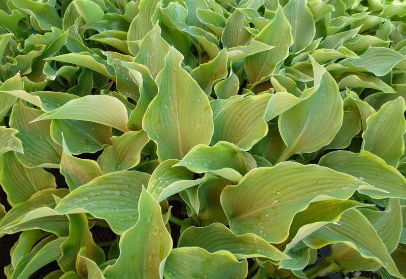 HOSTA HYBRIDE 'ABBA DABBA DO'