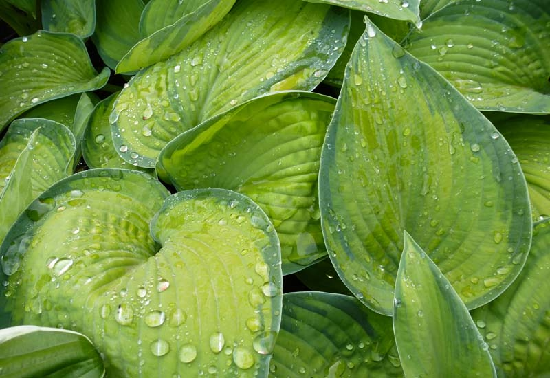 HOSTA HYBRIDE 'BRIGHT LIGHTS' CO 3 L