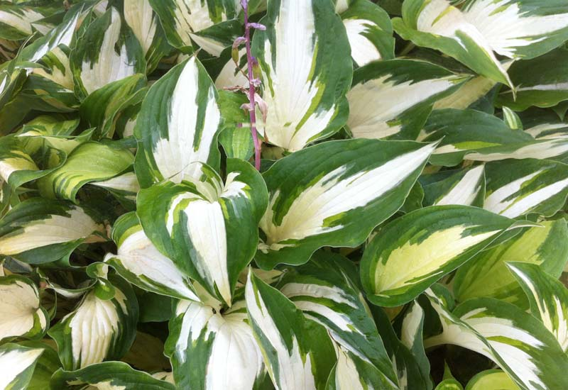 HOSTA HYBRIDE 'CHRISTMAS CANDY' CO 3 L