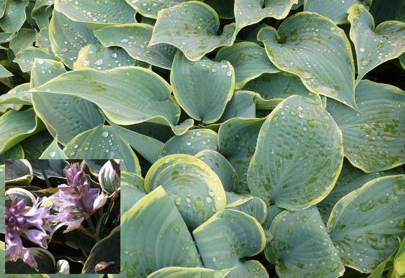 HOSTA HYBRIDE 'FROSTED DIMPLES' CO 3 L