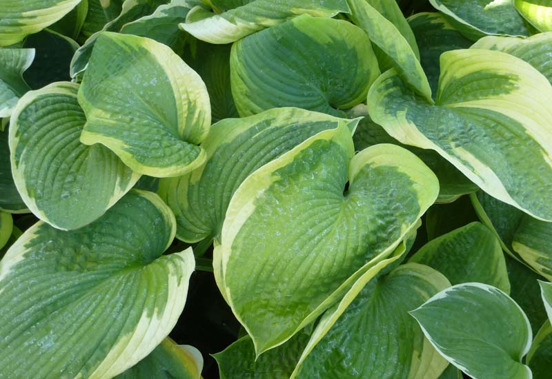 HOSTA HYBRIDE 'OLIVE BAILEY LANGDON'
