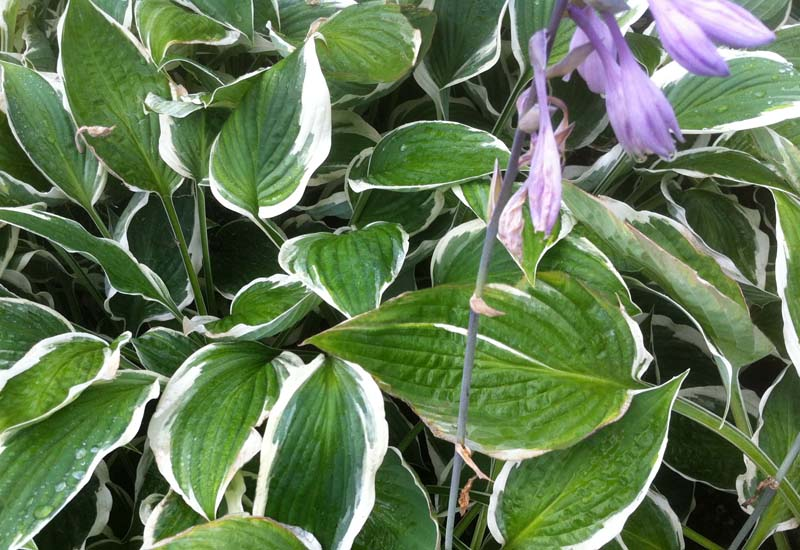 HOSTA HYBRIDE 'ZAGER'S WHITE EDGE'