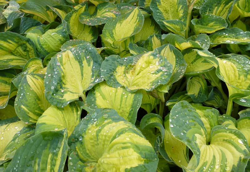 HOSTA SIEBOLDIANA 'GREAT EXPECTATIONS' CO 3 L