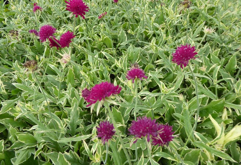 KNAUTIA MACEDONICA 'THUNDER AND LIGHTNING'