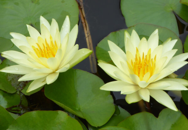 NYMPHAEA HYBRIDE 'COLONEL A.J.WELCH'