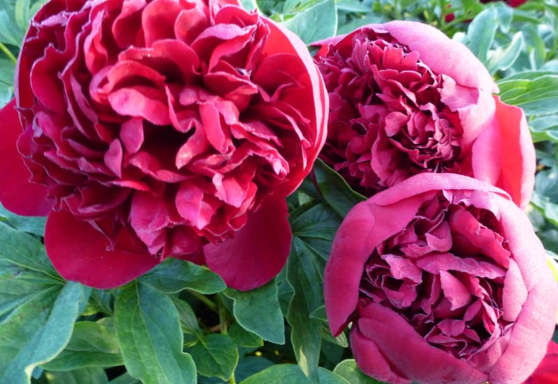 PAEONIA LACTIFLORA 'RED CHARM' CO 3 L