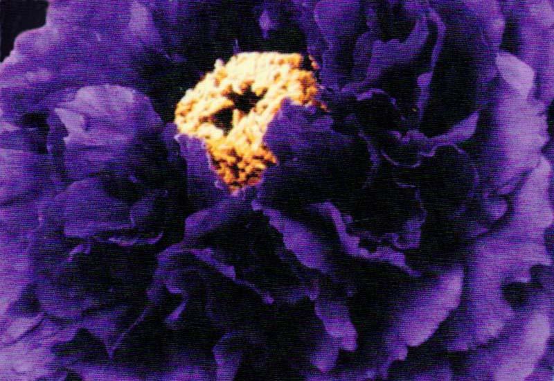 PAEONIA SUFFRUTICOSA PURPER P 12