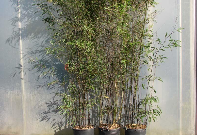 PHYLLOSTACHYS NIGRA CO 30 L 350 CM