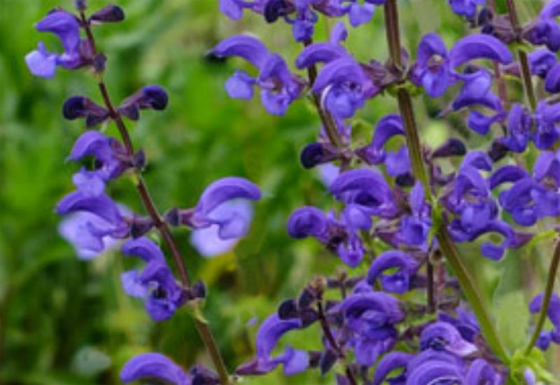 SALVIA PRATENSIS 'TWILIGHT SERENADE'