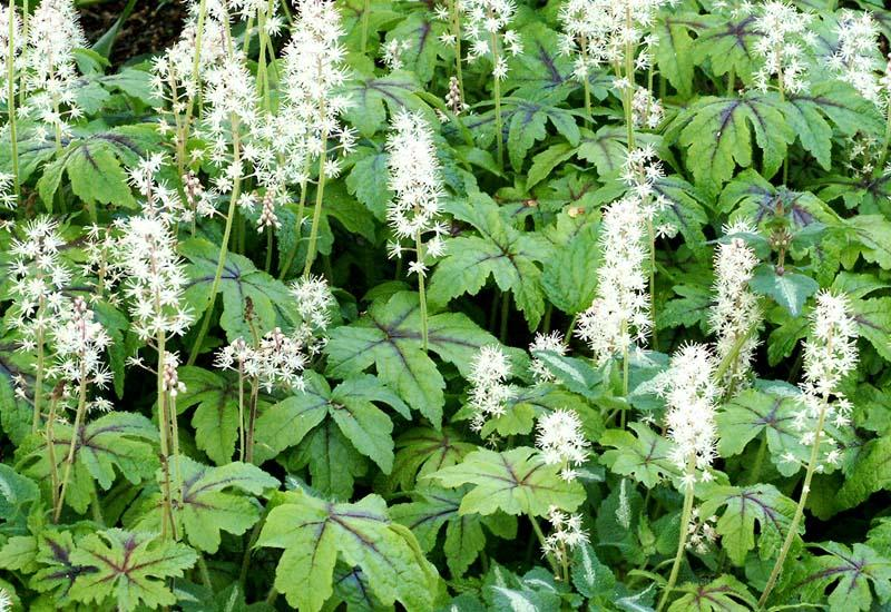 TIARELLA HYBRIDE 'JEEPERS CREEPERS'