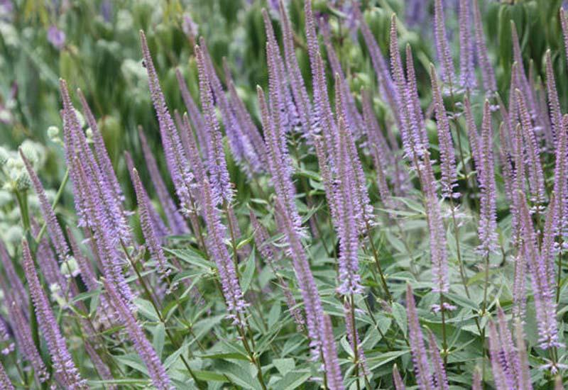 VERONICASTRUM VIRGINICUM 'GREEN TIP'