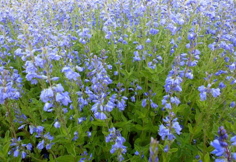VERONICA AUSTRIACA 'SHIRLEY BLUE'