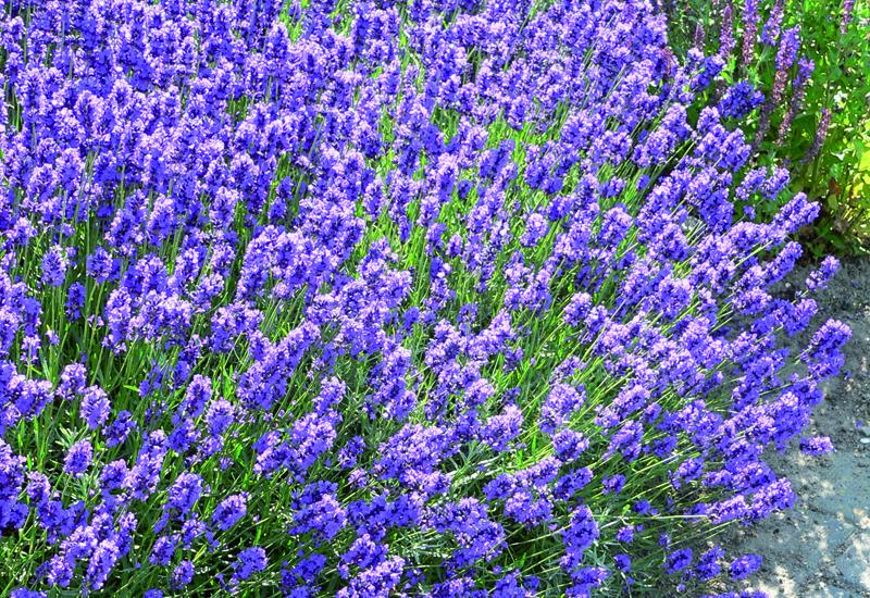 LAVANDULA ANGUSTIFOLIA 'DWARF BLUE'