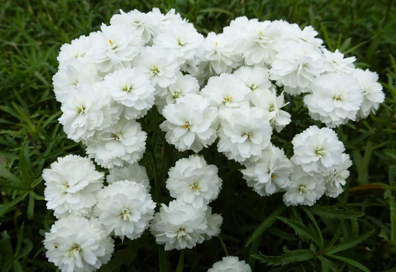 ACHILLEA PTARMICA 'PERRY'S WHITE