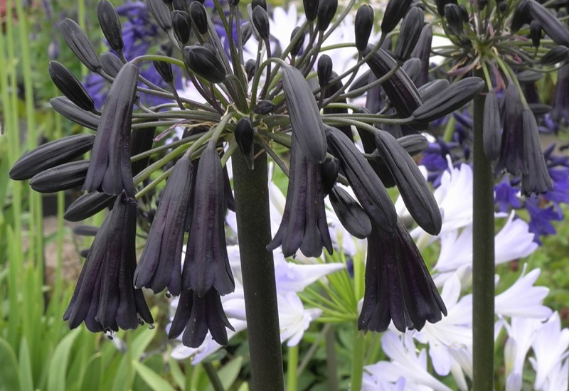 AGAPANTHUS HYBRIDE 'BLACK MAGIC'