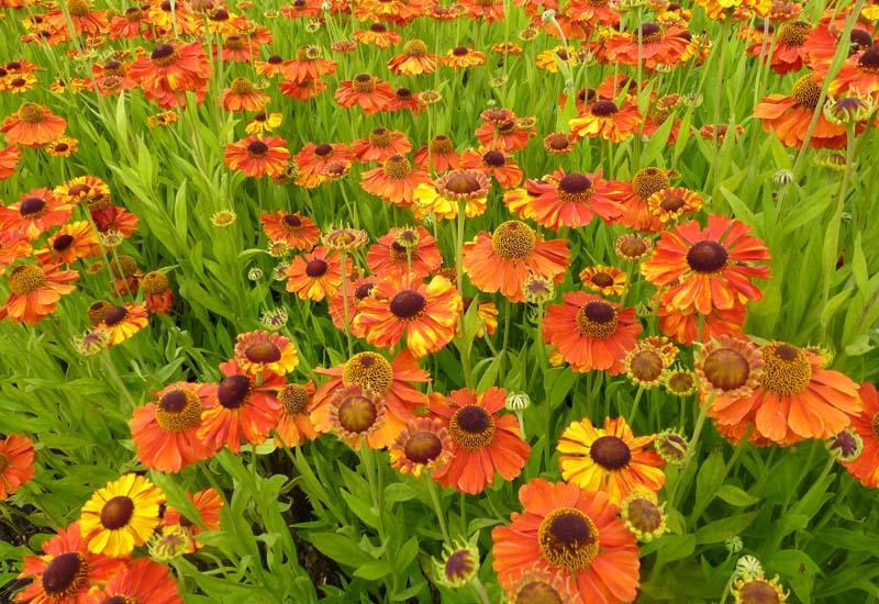 HELENIUM HYBRIDE 'SAHIN'S EARLY FLOWERER'