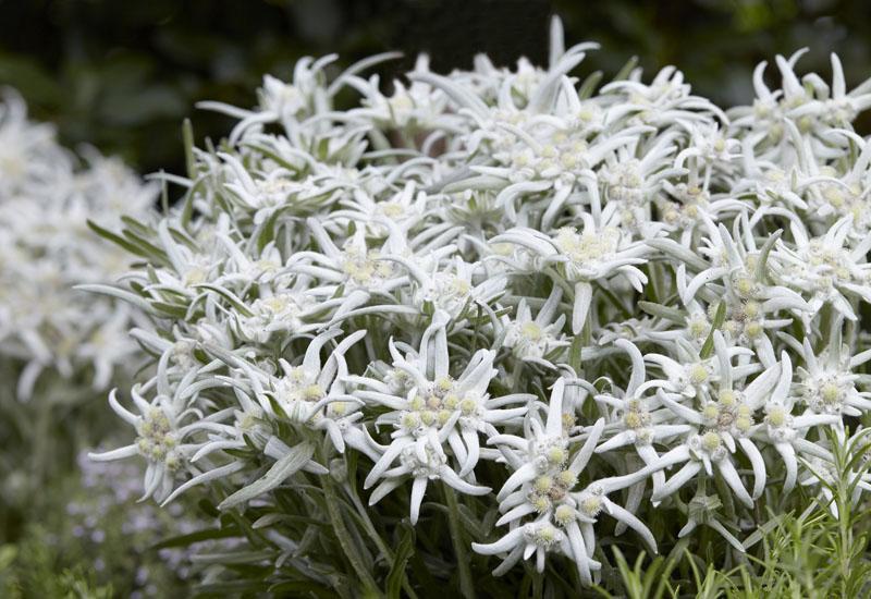 LEONTOPODIUM ALPINUM 'BLOSSOM OF SNOW'