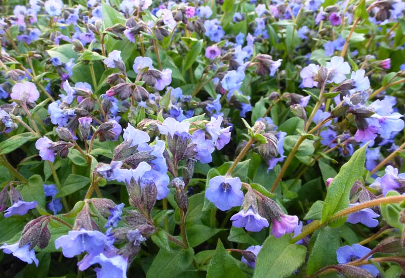 PULMONARIA HYBRIDE 'BLUE ENSIGN'