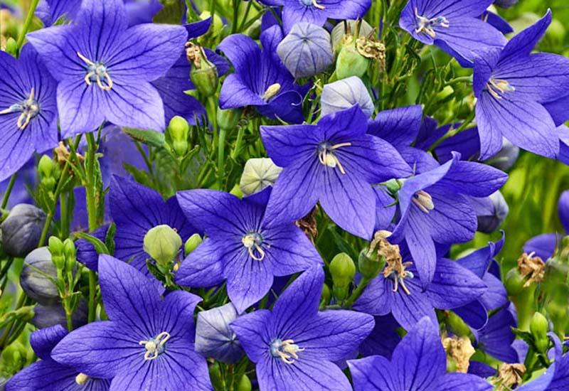 PLATYCODON GRANDIFLORUS 'FUJI BLUE'